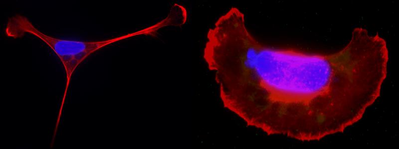 toxoplasma host cells